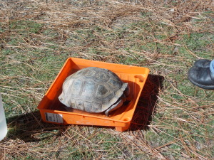 Tortoise soaking up water in pan.