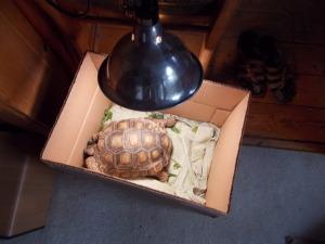 Tortoise under lights.