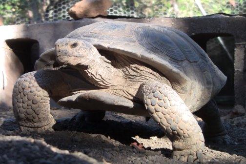 Ddesert tortoise walking close.